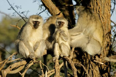 southern africa: Vervet monkeys (Cercopithecus aethiops) sitting in a tree, South Africa