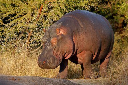 Hippopotamus (Hippopotamus amphibius), South Africa Stock Photo - 5067169