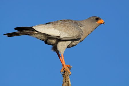canorus: Pale Chanting goshawk (Melierax canorus) perched on a branch, South Africa Stock Photo