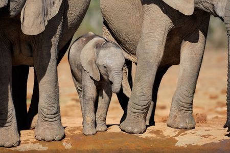 Young African elephant calf (Loxodonta africana) drinking water at a waterhole, South Africa Stock Photo - 5102636