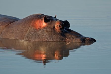 Hippopotamus (Hippopotamus amphibius) submerged in water, South Africa Stock Photo - 5109054