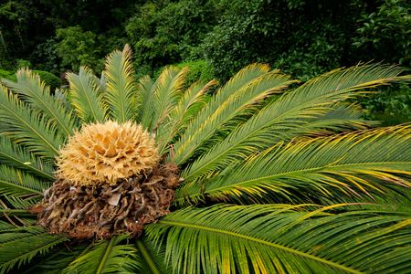 cycad: Close-up of a flowering Chinese cycad plant