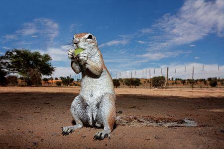 Inquisitive ground squirrel (Xerus inaurus), Kalahari, South Africa photo