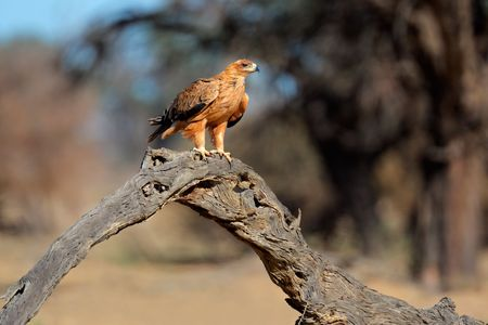 Tawny eagle (Aquila rapax) perched on a branch, Kalahari, South Africa Stock Photo - 5216698