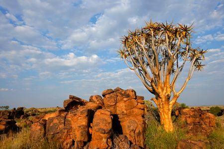 Desert landscape with granite rocks and a quiver tree (Aloe dichotoma), Namibia, southern Africa Stock Photo - 5210916
