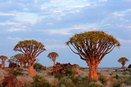 Desert landscape with granite rocks and quiver trees (Aloe dichotoma), Namibia, southern Africa Stock Photo - 5210913