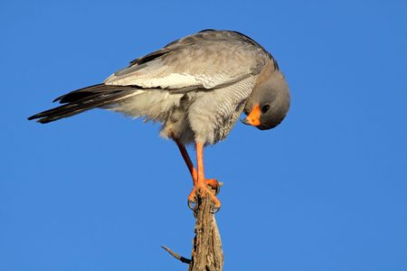 Pale Chanting goshawk (Melierax canorus) perched on a branch, South Africa Stock Photo - 5340616