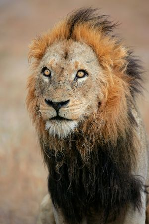 carnivores: Portrait of a big male African lion (Panthera leo), Sabie-Sand nature reserve, South Africa