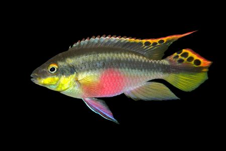 Colorful kribensis or purple cichlid (Pelvicachromis pulcher) isolated on black photo