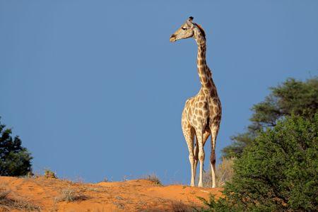 Giraffe (Giraffa camelopardalis) walking on a sand dune, Kalahari desert, South Africa Stock Photo - 5452945