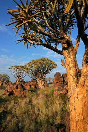 Desert landscape with granite rocks and quiver trees (Aloe dichotoma), Namibia, southern Africa Stock Photo - 5452954