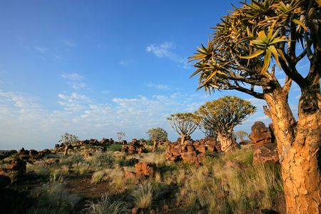 dichotoma: Desert landscape with granite rocks and quiver trees (Aloe dichotoma), Namibia, southern Africa