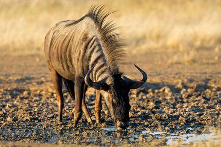 taurinus: Blue wildebeest (Connochaetes taurinus) drinking water, Kalahari desert, South Africa Stock Photo
