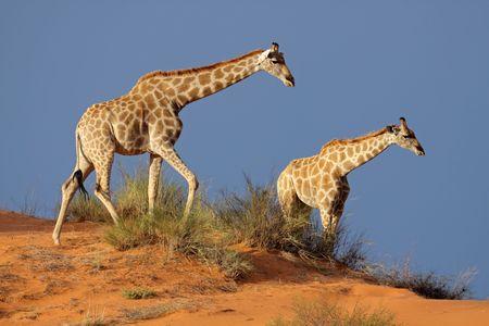 Giraffes (Giraffa camelopardalis) walking on a sand dune, Kalahari desert, South Africa Stock Photo - 5533497