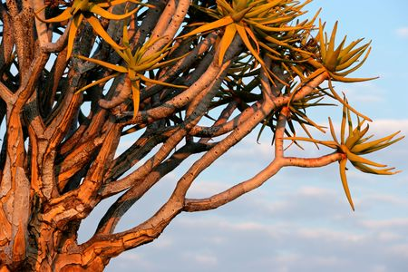 dichotoma: Branches of a quiver tree (Aloe dichotoma) in early morning light, Namibia, southern Africa