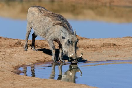 A warthog (Phacochoerus africanus) drinking water, South Africa Stock Photo - 5533496