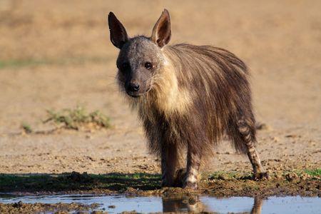 voracious: A brown hyena (Hyaena brunnea) at a waterhole, Kalahari, South Africa Stock Photo