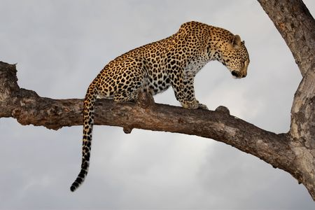 leopard cat: Leopard (Panthera pardus) sitting in a tree against a cloudy sky, South Africa Stock Photo