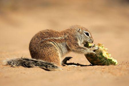 Feeding ground squirrel (Xerus inaurus), Kalahari desert, South Africa  Stock Photo - 5716145
