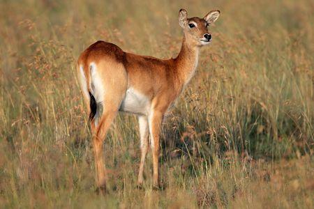 Female red lechwe antelope (Kobus leche), southern Africa photo