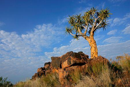 quiver: Desert landschap met graniet rotsen en een quiver-structuur (Aloe dichotoma), Namibië, Zuid-Afrika