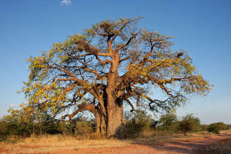 baobab: African baobab tree (Adansonia digitata), southern Africa Stock Photo