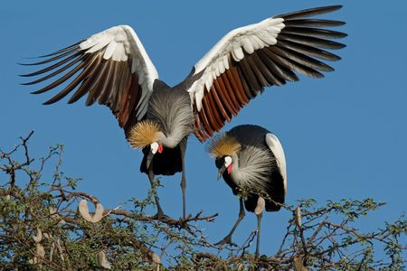 displaying: Displaying crowned cranes (Balearica regulorum), Hwange National Park, Zimbabwe, southern Africa Stock Photo