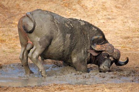 African or Cape buffalo bull (Syncerus caffer)  taking a mud bath, South Africa photo