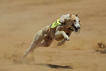 Greyhound at full speed during a race photo