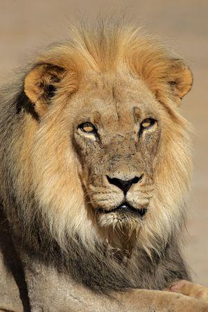 Portrait of a big male African lion (Panthera leo), Kalahari desert, South Africa Stock Photo - 6198405