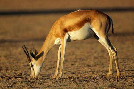 A springbok antelope (Antidorcas marsupialis) grazing in late afternoon light, Kalahari desert, South Africa Stock Photo - 6198402