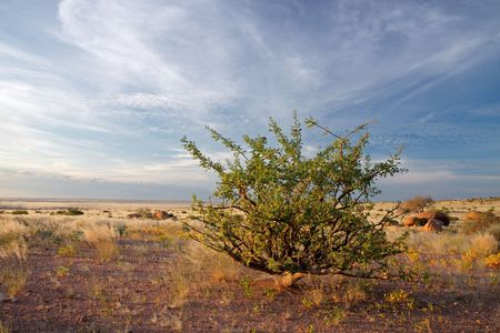 spp: A desert plant (Commiphora spp.) against a blue sky with clouds, Namibia, southern Africa