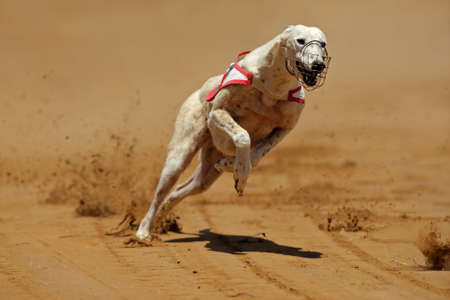 greyhound: Greyhound at full speed during a race