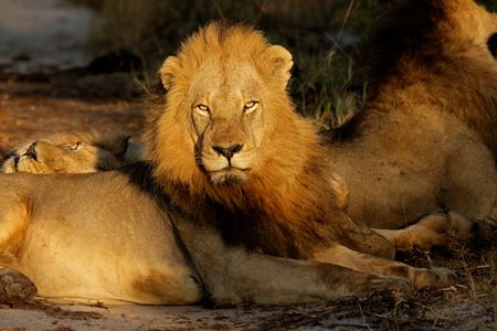 Big male African lion (Panthera leo) resting in early morning light, South Africa Stock Photo - 6298275