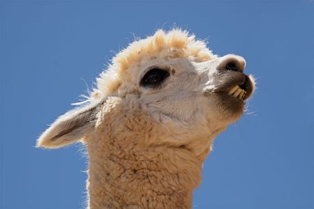 vicugna pacos: Portrait of Alpaca (Vicugna pacos), domesticated species of South American camelid