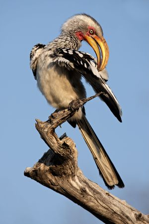 preening: Yellow-billed hornbill (Tockus flavirostris) preening, southern Africa