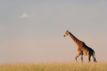 A giraffe walking on the African plains against a clear sky