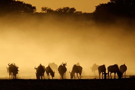taurinus: Blue wildebeest (Connochaetes taurinus) in dust at sunrise, Kalahari desert, South Africa