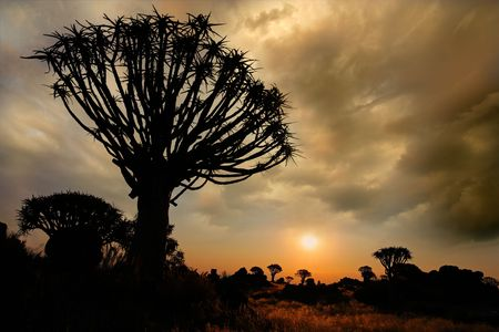 Silhouette of a quiver trees (Aloe dichotoma) at sunrise with clouds, Namibia, southern Africa Stock Photo - 6533180