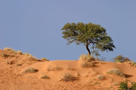 A camel thorn tree (Acacia erioloba) on a red sand dune, Kalahari desert, South Africa Stock Photo - 6701340