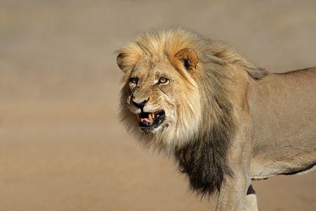 Snarling big male African lion (Panthera leo), Kalahari desert, South Africa photo