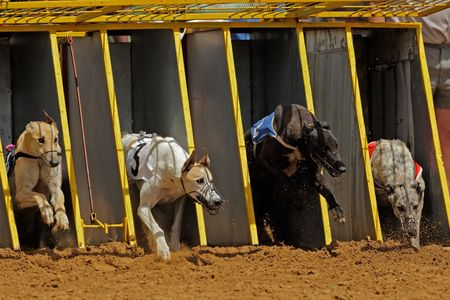 Greyhounds emerging from the starting cages during a race photo