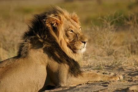 leo: Big male African lion (Panthera leo), Kalahari desert, South Africa Stock Photo