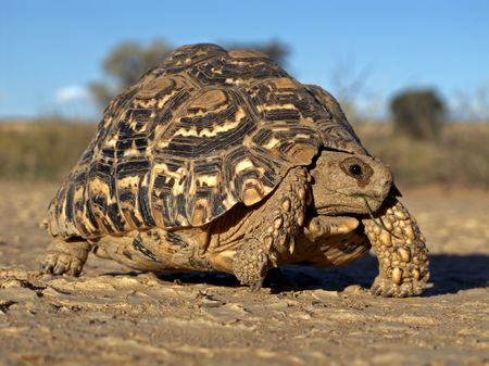 Mountain tortoise (Geochelone pardalis), Kalahari desert, South Africa Stock Photo - 6758622