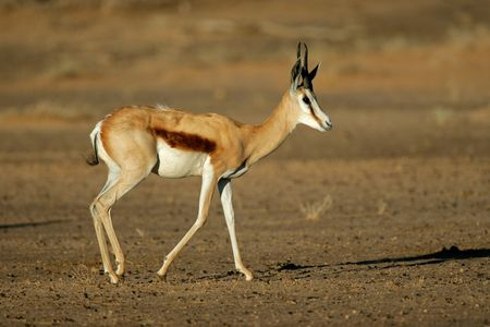 A springbok antelope (Antidorcas marsupialis), Kalahari desert, South Africa Stock Photo - 6945206