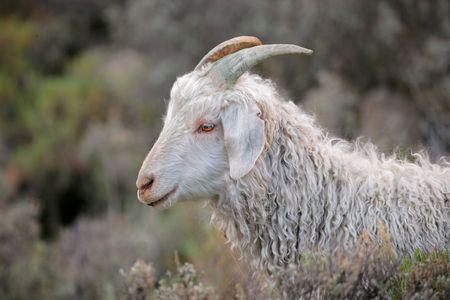 Portrait of an Angora goat  photo