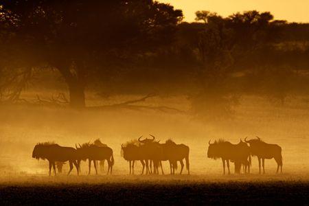 wildebeest: Blue wildebeest (Connochaetes taurinus) in dust at sunrise, Kalahari desert, South Africa