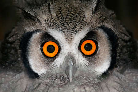 birds eye: Close-up portrait of a white-faced owl (Otis leucotis) with large orange eyes, South Africa