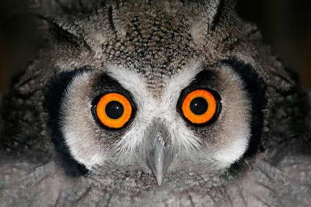 animal eye: Ritratto di Close-up di un gufo Pithecia (Otis leucotis) con grandi occhi arancioni, Sudafrica  Archivio Fotografico