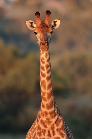 giraffa camelopardalis: Portrait of a giraffe (Giraffa camelopardalis), South Africa